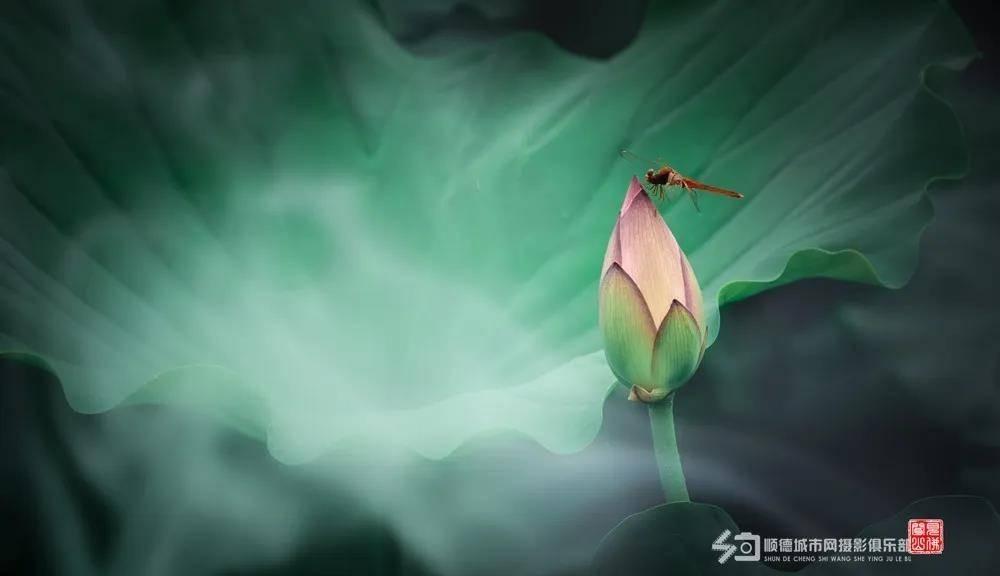 蜻蜓立荷.jpg